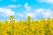 Close-up yellow field rapeseed in bloom. Spring background. Copy space. Soft focus
