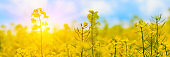 Banner 3:1. Close-up yellow field rapeseed in bloom with sunlight rays. Spring background. Copy space. Soft focus