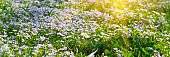 Banner 3:1. Soft focus carpet of Nemophila (baby blue eyes) flower with sunlight rays. Spring background. Copy space