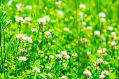 white clover (trifolium) flowers on meadow. Spring nature background. Soft focus
