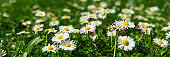 Banner 3:1. Close-up daisy (chamomile) flowers field. Spring background. Copy space. Soft focus