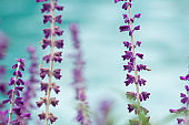 Close-up of lavender flowers in blossom against turquoise background. Soft focus