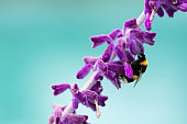 Close-up of bumblebee on lavender flowers in blossom against turquoise background. Soft focus