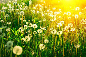 Dandelion flowers field with sun lights. Spring background. Copy space. Soft focus