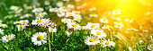 Banner 3:1. Close-up daisy (camomile) flowers field with sun lights. Spring background. Copy space. Soft focus