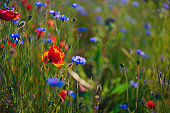Poppy flowers and cornflowers in wheat field on sunset. soft focus. Nature background