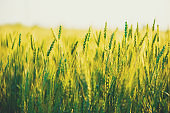 Wheat field. Close up ears of green wheat on sunset. soft focus. Harvest Concept