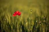 Lonely poppy flower in wheat field on sunset. soft focus. Harvest Concept.