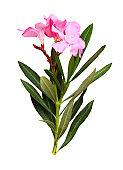 Pink oleander flowers and leaves