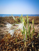 Sea lily sinking its roots in the sand. Pristine land. Sea in background.