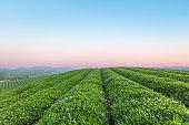 green tea plantation at dawn