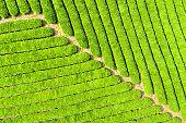 tea plantation closeup