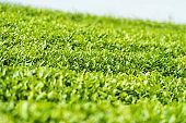 verdant tea plantation closeup