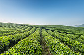 beautiful tea field