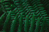 Dark green fern branches texture