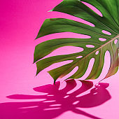 Monstera leaf on vivid colorful background