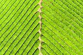 aerial view of tea plantation