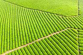 aerial view of tea plantation landscape