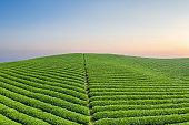 beautiful tea plantation in sunrise