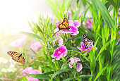 Spring sunny background with pink carnation flowers and butterflies monarch