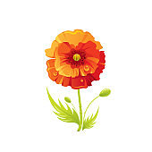 Red poppy flower, floral icon. Realistic cartoon cute plant blossom, spring, summer garden symbol. Vector illustration for greeting card, t shirt print, decoration design. Isolated on white background