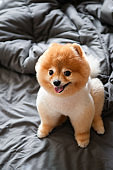 Cute young fluffy hair Pomeranian and dogs sit on cozy bed with very happy face mouth open