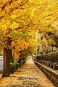 Jingu gaien avanue Tokyo yellow ginkgo tree tunnel