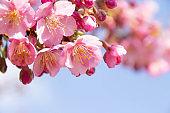 Close-up of early blooming Cerasus lannesiana 'Kawazu-zakura'
