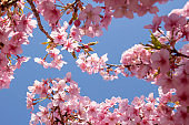 Close up of blue clear sky and Kawazu cherry blossoms in full bloom