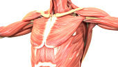 Human Body Muscles Anatomy