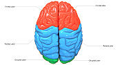 Central Organ of Human Nervous System Brain Lobes Anatomy Superior View