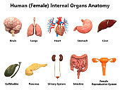 Female Internal Organs Anatomy