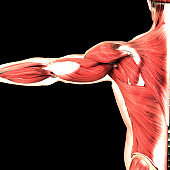 Human Body Muscular System Anatomy