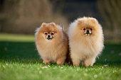 Pomeranian - Pom