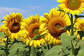 Summer background with field of sunflowers in a shallow depth of field.