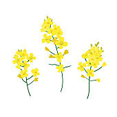 Brassica napus, rapeseed, colza, oil seed, canola vector illustration. The concept of rapeseed oilor honey. Flat vector illustration isolated on white background