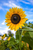 Single Sunflower with Blue Sky