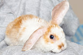 Lop ear little Red and white color rabbit, 2 months old, bunny on grey background -animals and pets concept