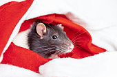 Concept image of symbol chinese happy new year 2020. Christmas rat. Closeup small mouse in santa claus red hat. Lunar horoscope sign