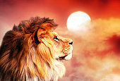 African lion and sunset in Africa. African savannah landscape concept, king of animals. Spectacular warm sunlight and dramatic red cloudy sky. Proud dreaming lion in savanna looking forward.