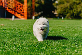 Samoyed puppy sitting on green grass