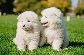 Samoyed puppies on the grass
