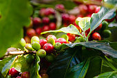 coffee plant with ripe coffee beans