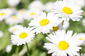 Daisy is a feminine given name 'fresh, wholesome, and energetic' also a nickname for Margaret, New beginnings, which is why they are often found in bouquets for new mothers or as gifts for children.