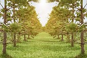 Rows of bright pine trees lit by bright sunlight at coniferous nursery garden. Growing young conifers at open air gardening plantation.