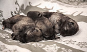 Three keeshond puppies at the age of one week