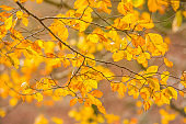 Foliage in Monti Simbruini national park, Lazio, Italy. Autumn colors in a beechwood. Beechs with yellow leaves.