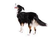 Australian Shepherd dog on white