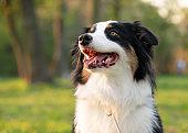 Australian Shepherd dog at park