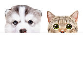 Portrait of a Husky puppy and Scottish Straight cat peeking from behind a banner